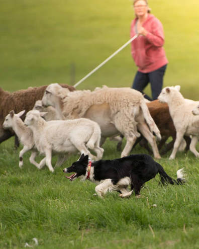 Border collie herding sheep with Lisa Wright in background